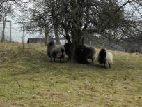Urige Schafe am Wegesrand