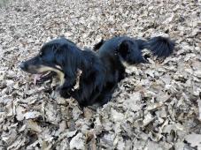 Doxi hat einen großen Laubhaufen entdeckt und wirft sich hinein. Das liebt sie.