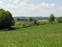 Glückliche Milchkühe auf saftigen Wiesen