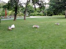 Nilgänse weiden auf der Wiese im Hofgarten