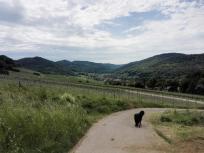 Durch die Weinberge bei Pfedelbach