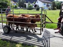 Hier werden zwei Kühe und ihre Kälber zu einer Weide geführt