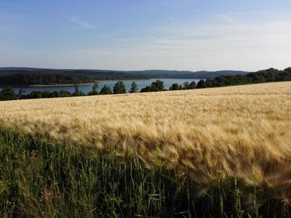 Bald ist Erntezeit: Kornfelder oberhalb des Sees.