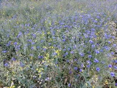 Wildblumen am Feldrand