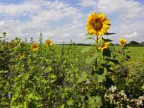 Jetzt blühen die Sonnenblumen