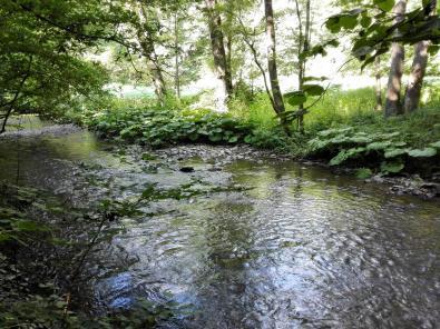 Wasserpflanzen am Eltzbach