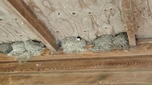 Unter der Decke brüten Schwalben. Die Kleinen gucken aus ihren Nestern.