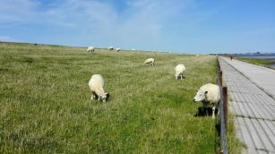 Schafe halten die Rasendecke auf dem Deich kurz und stampfen die Grasnarbe schön fest