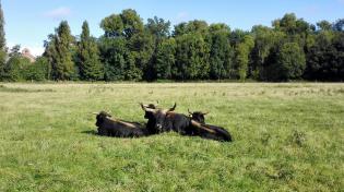 Urige Rinder auf einer Weide
