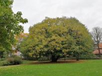 Prächtiger Baum im Park vor der Burg