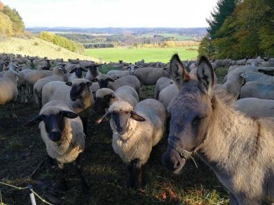 Große Schafsherde unterhalb des Gipfels des Mosebergs. Ein Eselchen passt auf die Schafe auf.