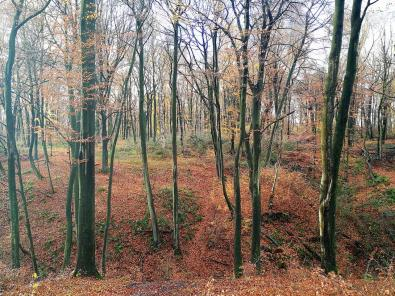 Rotbuchen im Bodelschwingher-Wald