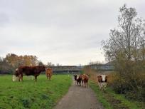 Hier weiden Kühe auf den Wiesen am Ufer