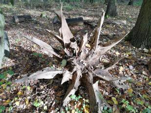 Verrottender Baumstumpf mit Wurzel