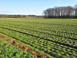 Intensiv duftende Felder mit Schnittlauch auf niederländischer Seite der Grenze
