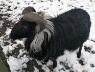 Ein Ziegenbock, der sich sehr für Doxi interessiert