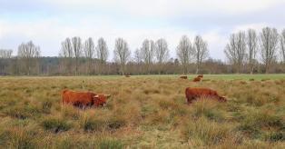 Schottische Hochlandrinder auf den Heideflächen