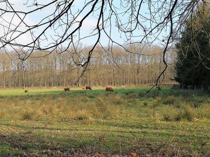 Freilaufende Hochlandrinder auf einer Lichtung im Wald
