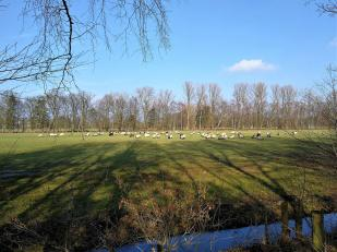 Schafe zwischen Rodebach und Wald