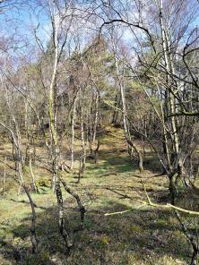 Neben Kiefern gedeihen auch Birken hier sehr gut