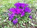 Auch die Krokusse recken bereits ihre Blüten ins Licht