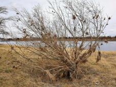 Hinterlassenschaften des letzten Rheinhochwassers in einem Baum am Ufer