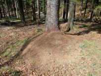 Am Wegesrand zahlreiche große Ameisennester, auf denen tausende von Ameisen in der warmen Frühlingssonne herumwuseln