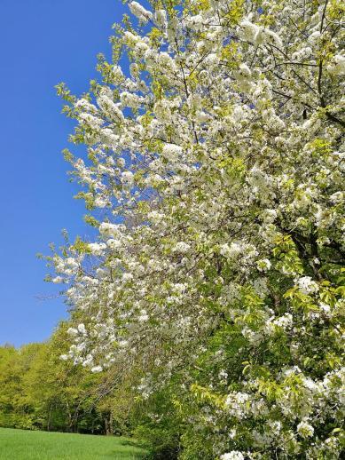 Blühender Obstbaum am Waldrand
