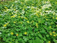 Blühende Bodendecker im Wald