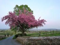 Blühende Zierkirsche vor dem Schlosstor