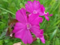 Blumen in den Feuchtwiesen an der Fulda