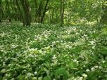 Bärlauchteppich im Wald
