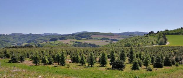 Hier wachsen die Tannenbäume für die kommende Saison heran