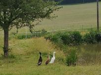 Laufenten an einem Hof bei Stodt