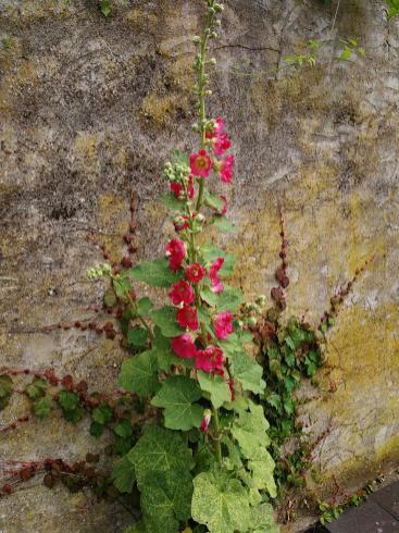 Willdblume an einer wärmenden Steinwand