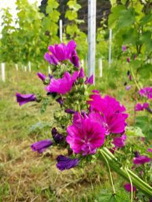 Wildblume an eine Weinstock