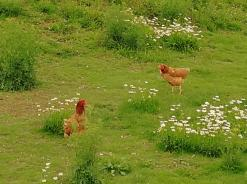 Glückliche, freilaufende Hühner auf einem Hof am Rande von Bruchhausen