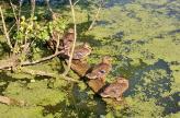 Die Enten nehmen ein Bad in der Sonne