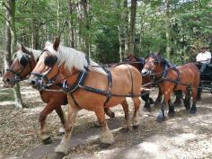 """Auf der """"Breiten Allee"""" auf dem Kamm der Ville kommt uns ein Pferdegespann entgegen"""
