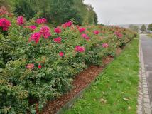 Rosen im Nordsternpark