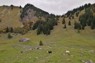 Eine Herde mit robusten Hochlandschafen beweidet das Hochtal