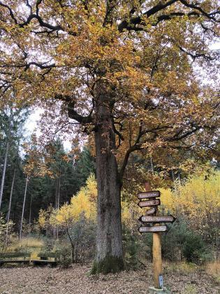 Kaisereiche mitten im Wald