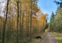 Die Buchen färben den Wald gelb ein
