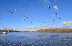 Wasservögel auf dem Rhein