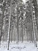 Die gleichmäßige Anordnug der Fichten signalisiert: Dies ist ein Nutzwald