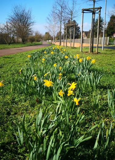 Am Bahnhof blühen bereits die Osterglocken