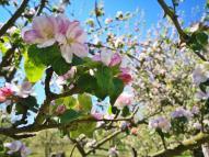 Wunderbar blühen die Obstbäume zur Zeit