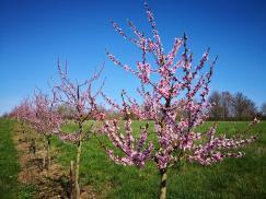 Wieder oben auf den Moselhöhen laufen wir an jungen, blühenden Kirschbäumen vorei