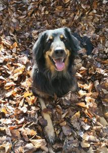 Doxi hat sich erst mal schön im trockenen Herbstlaub gewälzt. Jetzt guckt sie mich ganz unschuldig an.
