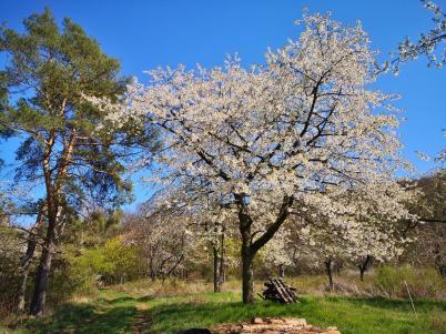 Am Waldrand: Blühende Obstbäume